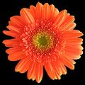 Gerbera black background.jpg
