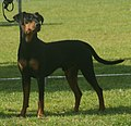 German Pinscher 2018 3.jpg