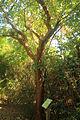 Gfp-gumbo-limbo-tree.jpg