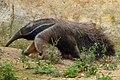 Giant Anteater - Doué la Fontaine - 20100822