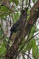 Giant Antshrike (Batara cinerea) (8077628253).jpg