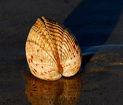 Giant Atlantic Cockle ( Dinocardium robustum ) - Flickr - Andrea Westmoreland (12).jpg