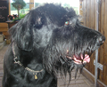 Giant Schnauzer Lea vom Fresenberg 14 years old.png