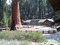 Giant Sequoia Outside Visitor's Center at Giant Sequoia National Park.jpg