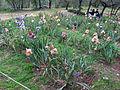 Giardino dell'iris, firenze, 2014, iris in gara 01.JPG