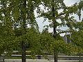 Ginkgo Invalidenpark B Mitte.jpeg