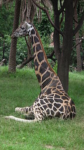 Giraffa camelopardalis from Nehru Zoological park Hyderabad 4373.JPG