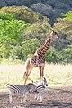 Giraffe (2874466151).jpg