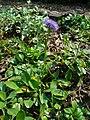 Globularia trichosantha 001.jpg