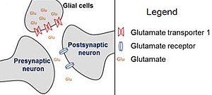 Glutamate transporter - Image: Glutamate reuptake via EAAT2 (GLT1)