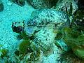 Glyptauchen panduratus Goblinfish P1021062.JPG