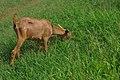 Goats eat grass.jpg