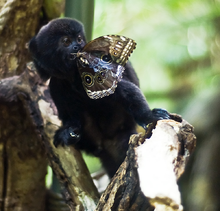 Goeldis monkey - butterfly lunch - cropped.png