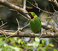 Golden-fronted Leafbird (Chloropsis aurifrons) at Jayanti, Duars, West Benga W2 Picture 305.jpg