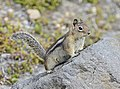 Golden-mantled Ground Squirrel, Mt. Saint Helens 04.jpg