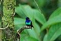 Golden-tailed Sapphire (Chrysuronia oenone) 2015-06-13 (3) (26457769068).jpg