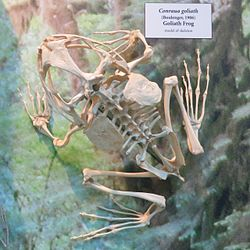 Goliath frog skeleton.jpeg