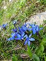 Goryczka wiosenna kwiaty.JPG
