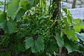 Grappes de raisins verts à gogo (30473606275).jpg