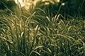 Grasses, Dodge Nature Center (14762075999).jpg