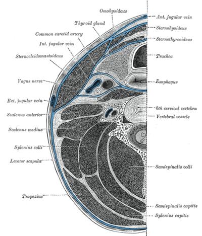 Halsfaszie – Wikipedia