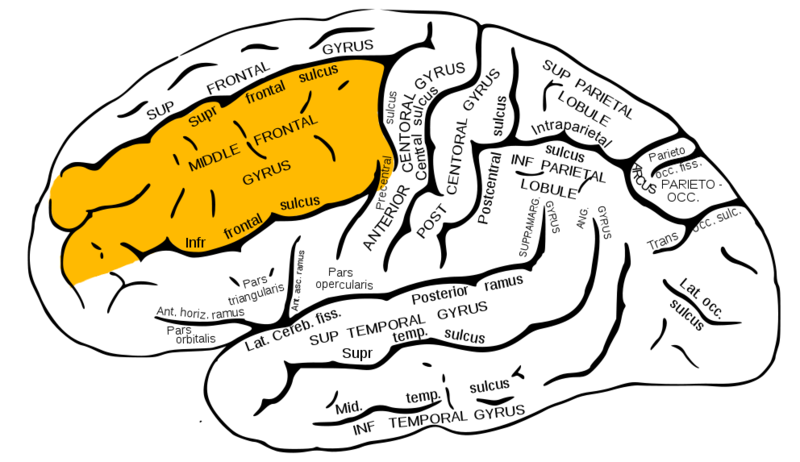 ILLUSTRATION : Gyrus frontal moyen (Source : Wikimedia)