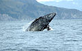 Gray whale Merrill Gosho NOAA2 crop.jpg
