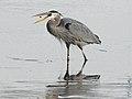 Great Blue Heron - Ardea herodias, Blackwater National Wildlife Refuge, Church Creek, Maryland (25474982618).jpg