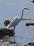 Great Egret, Cabrillo, California (14956305624).jpg