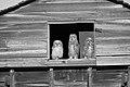 Great Horned Owl chicks (3) (12262396563).jpg