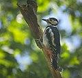 Great spotted woodpecker (50168890318).jpg