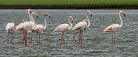 Greater Flamingoes (Phoenicopterus roseus) W IMG 0075