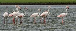 Greater Flamingoes (Phoenicopterus roseus) W IMG 0075
