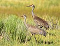 Greater Sandhill Crane with Colt on Seedskadee National Wildlife Refuge (28613835790).jpg