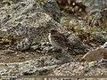 Greater Short-toed Lark (Calandrella brachydactyla) (15799845514).jpg