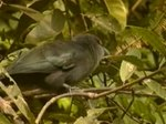 Fil:Green-billed Malkoha.ogv