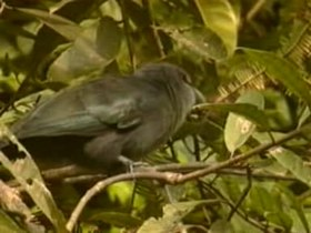 Tập tin:Green-billed Malkoha.ogv