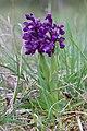 Green-winged Orchid - Anacamptis morio - panoramio (58).jpg
