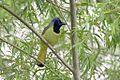 Green Jay-Bentsen-Rio Grande SP-TX - 2015-05-07at11-47-0528 (21420369750).jpg