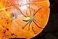 Green Lynx Spider 7054.jpg