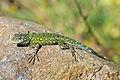 Green Spiny Lizard (Sceloporus malachiticus) JCB.jpg