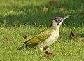 Green Woodpecker (Picus viridis) - geograph.org.uk - 982841.jpg