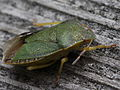 Green shield bug (7143379591).jpg