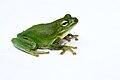 Green treefrog (2).jpg