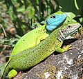 Greenlizard pair (cropped).JPG