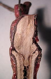 Photographie montrant une coupe sur un jeune plant greffé. La ligne sombre de la forme de découpe en oméga est bien visible. Cette technique permet au couple porte-greffe et greffon de tenir ensemble sans ligature.