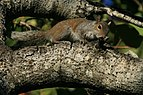 Grey squirrel in Hugh Taylor Birch State Park 2.JPG