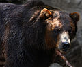 Grizzly Bear (4841460102).jpg