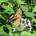 Großer Schwalbenschwanz (Papilio cresphontes).jpg
