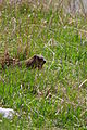 Groundhog peeking out of his hole (4521226562).jpg
